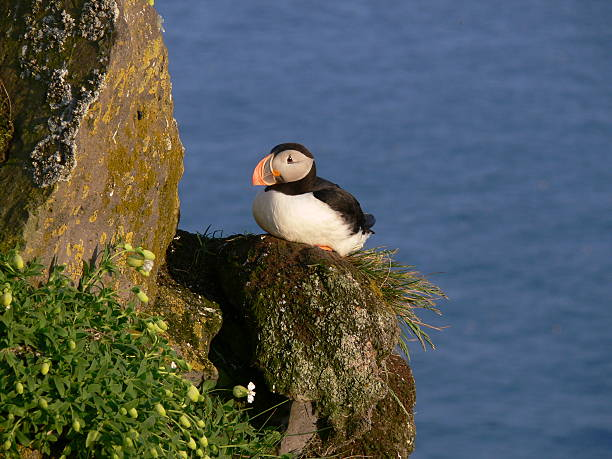 puffin on acliff of iceland stock photo