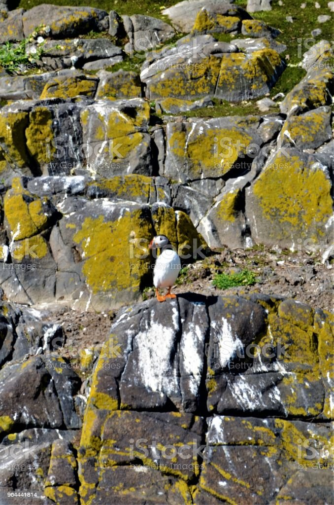 Puffin On Rock - Royalty-free Animal Stock Photo