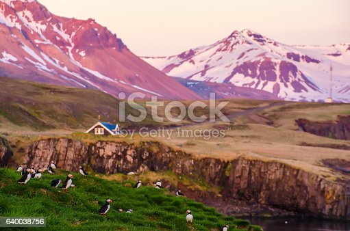 istock Puffin on the rocks at Borgarfjordur Iceland 640038756