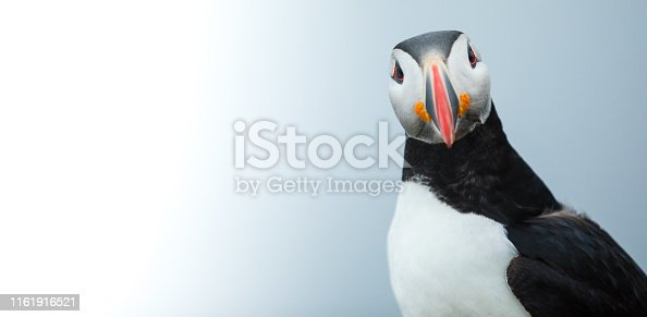 Puffin on the rocks at latrabjarg Iceland, close-up.