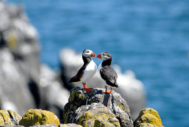 Puffin A pair of Atlantic puffins found on Isle of May, Scotland auk stock pictures, royalty-free photos & images