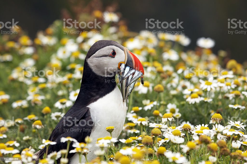 Puffin posing with sand eels in daisies stock photo