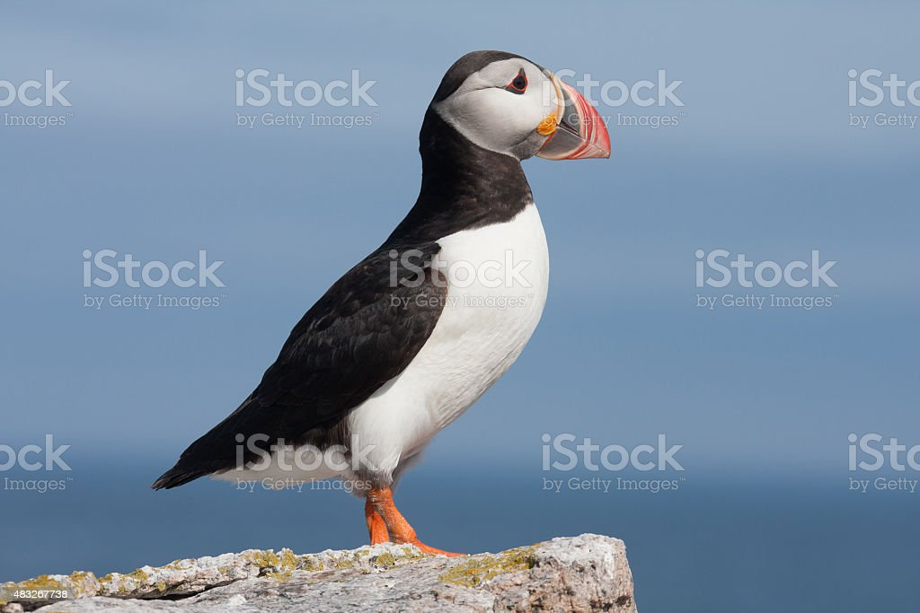 puffin profile stock photo
