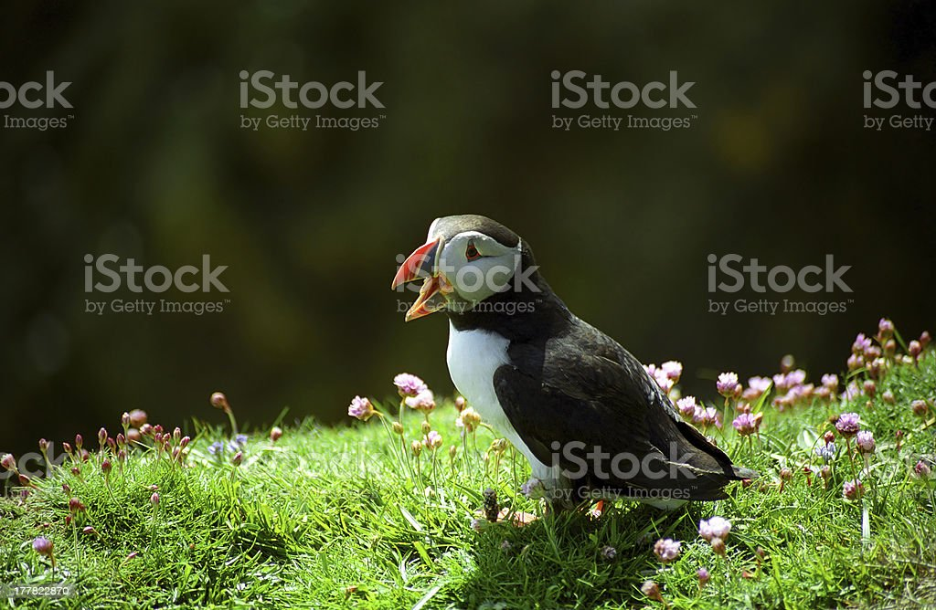 Puffin, Shetland, Scotland royalty-free stock photo
