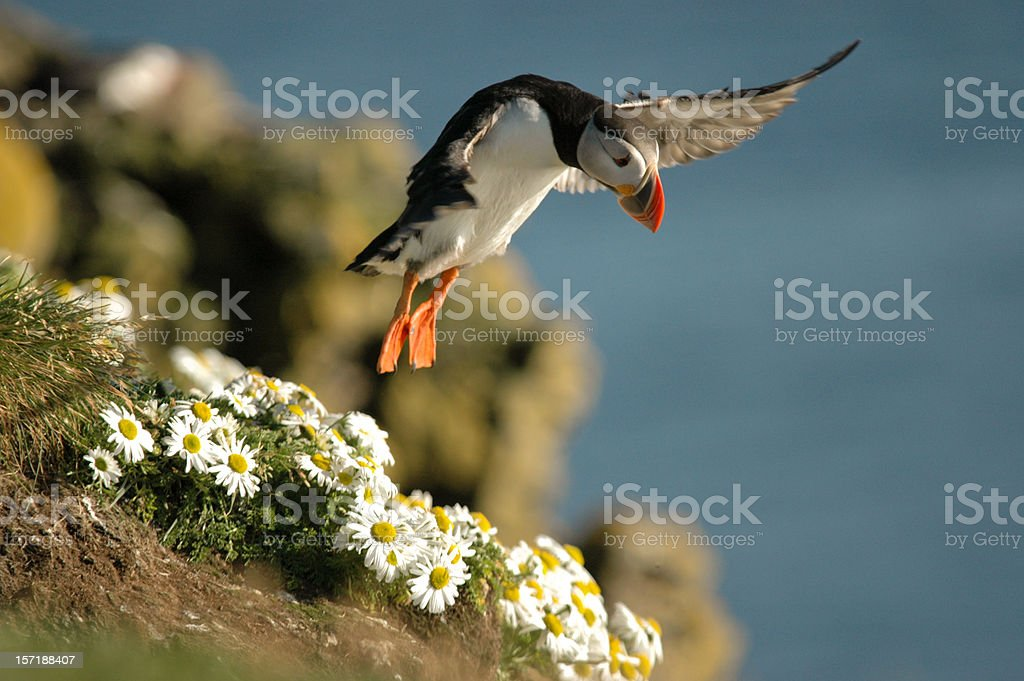 Puffin takeoff uncropped stock photo