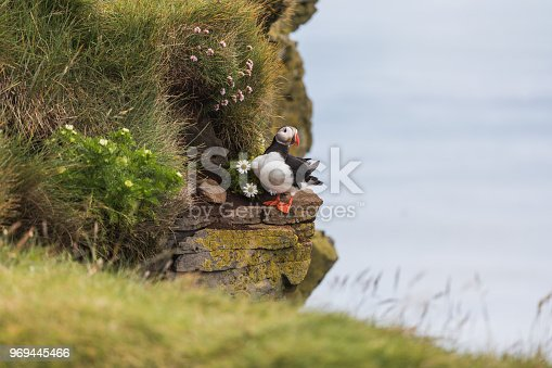 istock Puffin with Leucanthemum on the cliffs in Iceland 969445466