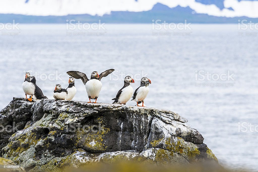 Puffins by the Sea stock photo