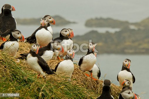 Puffins having a meeting on a hill. Coasline in the background. Misty weather.