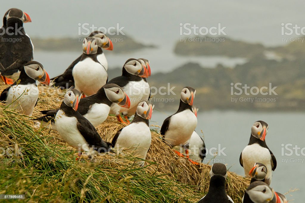 Puffins having a meeting stock photo