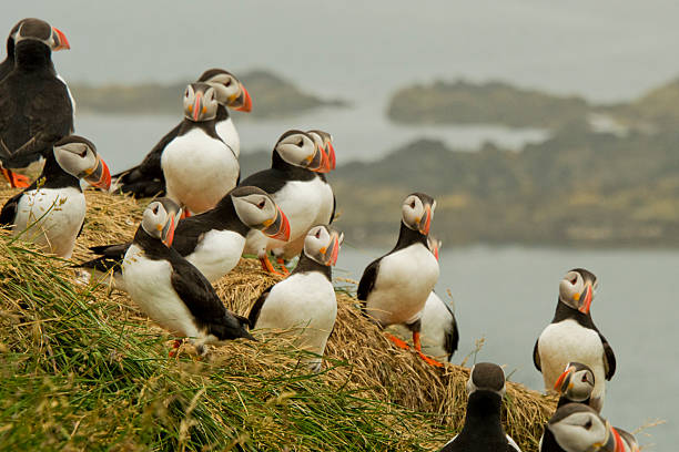 trovare pulcinelle di avere un meeting - uccello marino foto e immagini stock
