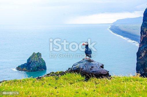 istock Puffins - Iceland 464492174