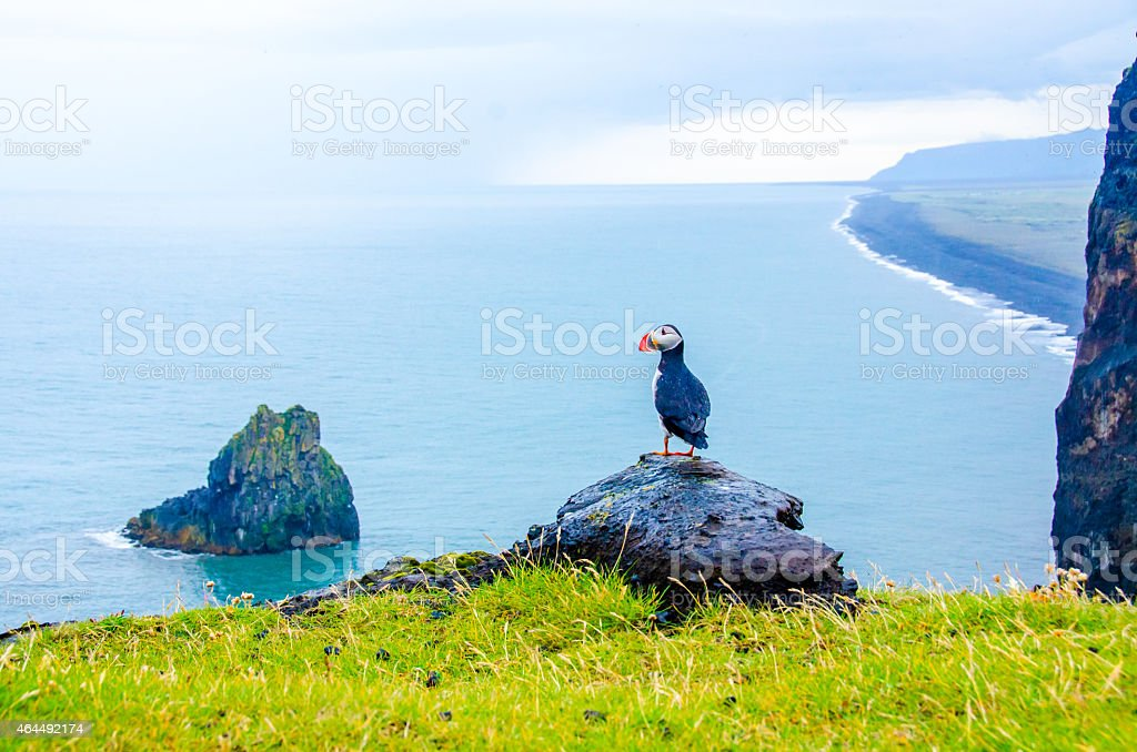 Puffins - Iceland stock photo