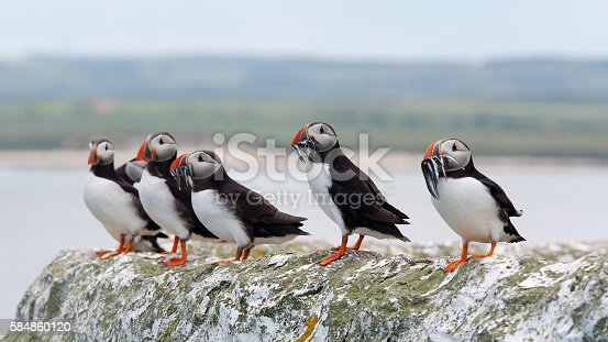 A row of Puffins (Fratercula arctica) carrying sand eels