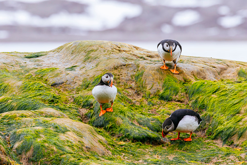 Atlantic puffins (Fratercula arctica) standing on a rock in the ocean covered in green algae