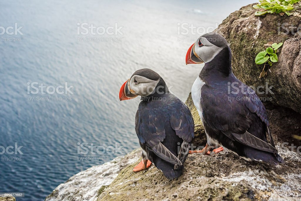 Puffins on the Latrabjarg cliffs, West Fjords, Iceland stock photo