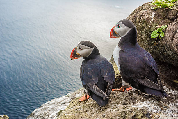 Puffins on the Latrabjarg cliffs, West Fjords, Iceland Puffin couple in front of their burrow on the Latrabjarg cliffs, West Fjords, Iceland auk stock pictures, royalty-free photos & images