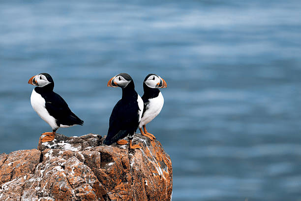 Puffins Beautiful puffins from Iceland auk stock pictures, royalty-free photos & images