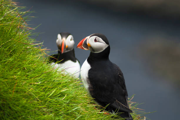 Puffins A pair of Atlantic Puffins, Alca arctica, at Sumburgh Head, Shetland, Scotland. 27 May 2008 auk stock pictures, royalty-free photos & images