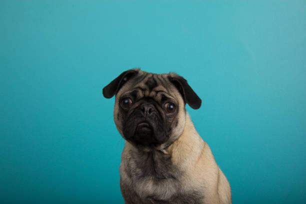 Pug against teal background stock photo