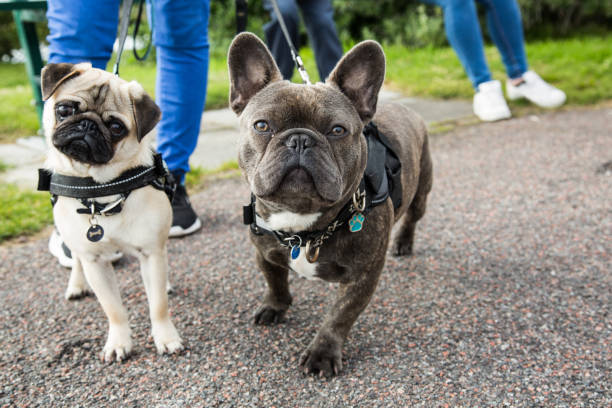 Pug and French Bulldog Looking Into The Camera stock photo