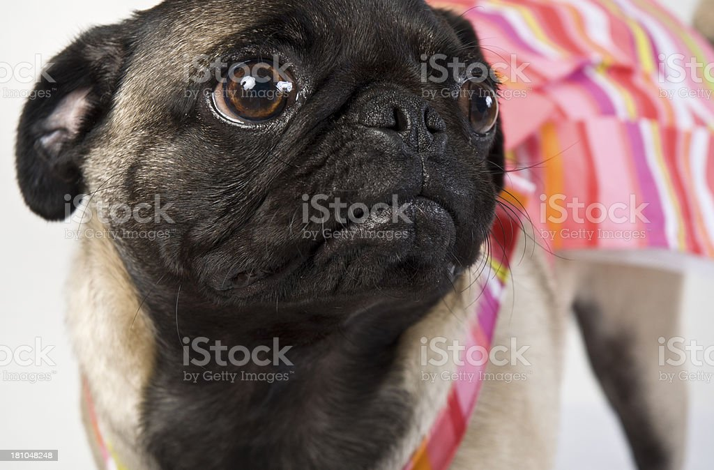 Pug Boxer Macro Portrait With Colorful Outfit Against White Background royalty-free stock photo