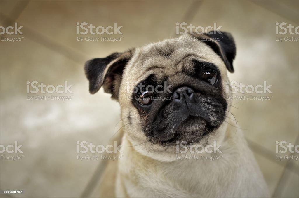 Pug curioso stock photo