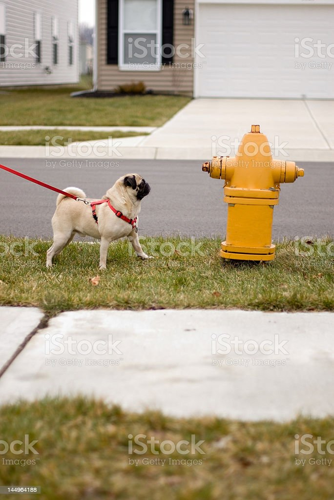 Pug dog at fire hydrant stock photo