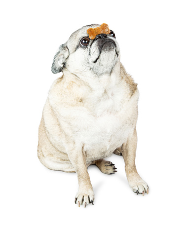 Pug with biscuit on nose.