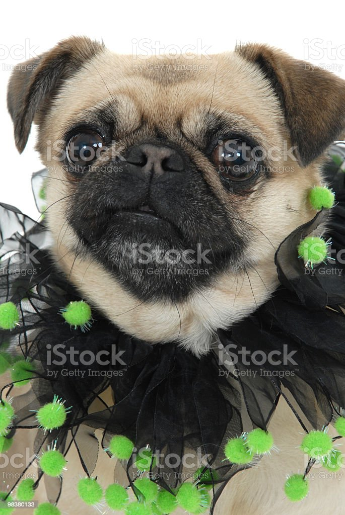 Pug Dog Dressed to Go Out royalty-free stock photo