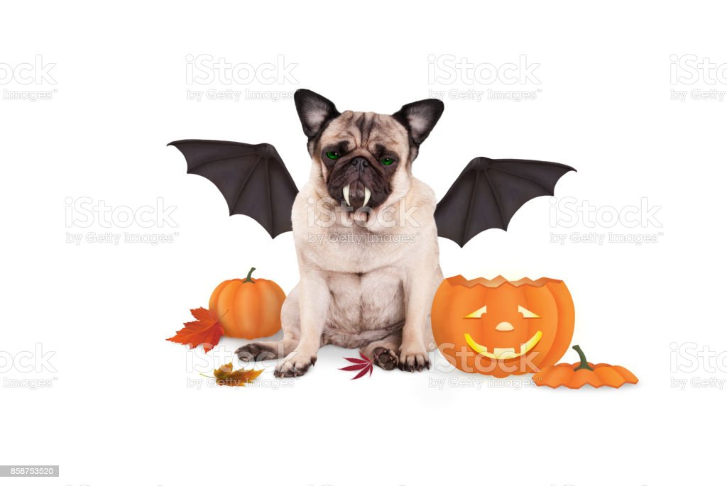 pug dog dressed up as bat for halloween, with funny pumpkin lantern stock photo