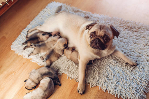 Pug dog feeding six puppies at home. Dog lying on carpet with kids stock photo
