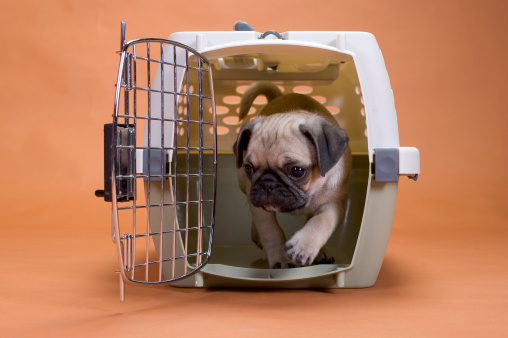 a pug puppy leaving his crate