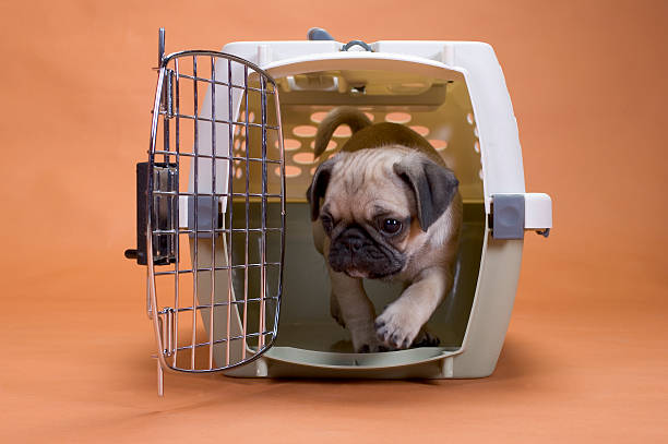 pug puppy leaving his crate puppy in crate . night potty training