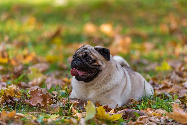 Pug Dog is Lying on the Ground. stock photo