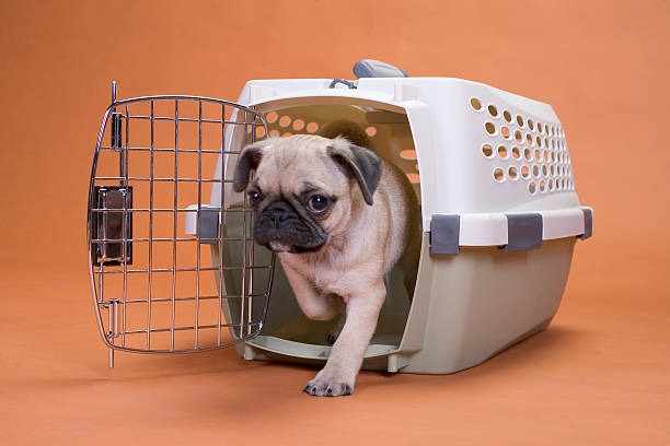 Pug dog leaving a plastic crate stock photo