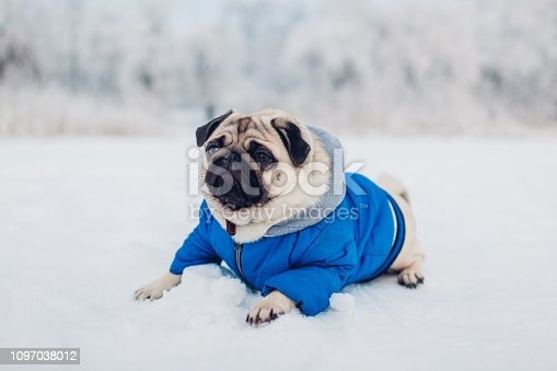 Pug dog lying on snow in park. Happy puppy wearing winter coat. Clothes for animals