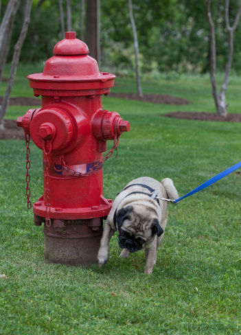 Peeing on fire hydrant pics