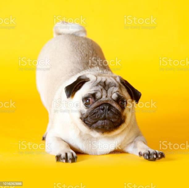 Pug dog picture id1016262666?b=1&k=6&m=1016262666&s=612x612&h=upybp4mefp5dkalz8nuynuntzixzsdw9wajdxnql3fo=