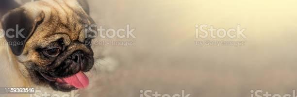 Pug dog portrait purebred isolated on a blurred background banner for picture id1159363546?b=1&k=6&m=1159363546&s=612x612&h=3u rysbfhf 0yuk1h3rgxhjwn q53dvz4nbukdm2jei=