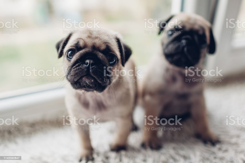 Pug Dog Puppies Sitting On Window Sill Little Puppies Siblings Breeding Dogs Stock Photo Download Image Now Istock