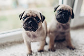 Pug dog puppies sitting on window sill. Little puppies siblings looking at camera. Breeding dogs