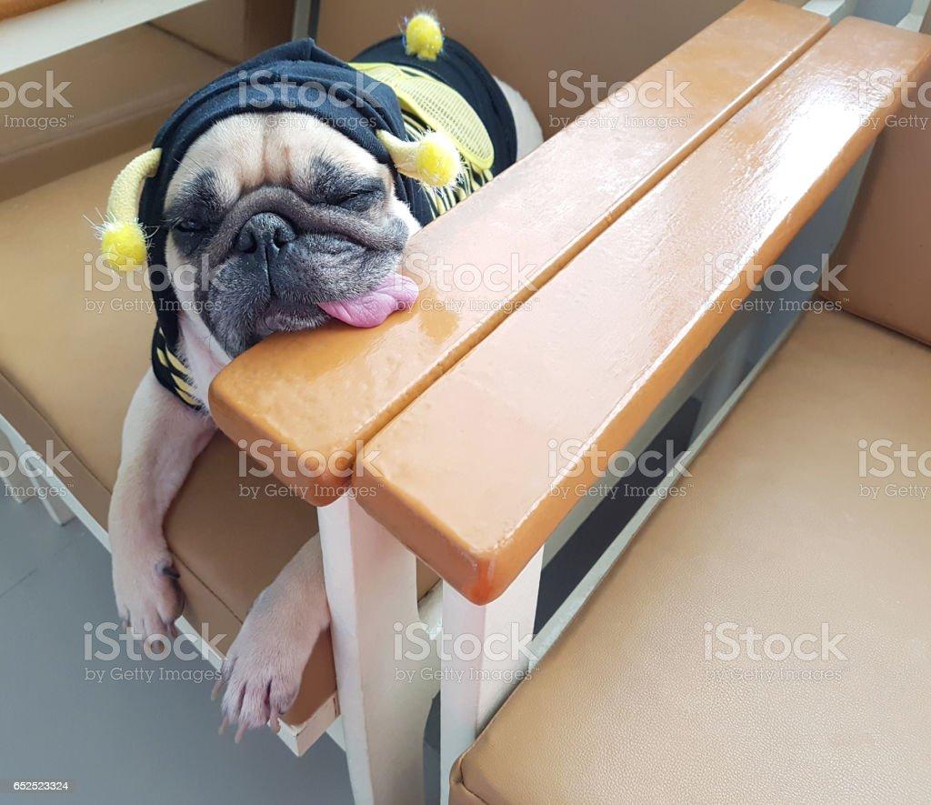 Chiot de chien carlin portant bee costume sommeil reste sur le canapé avec la langue sortie. - Photo