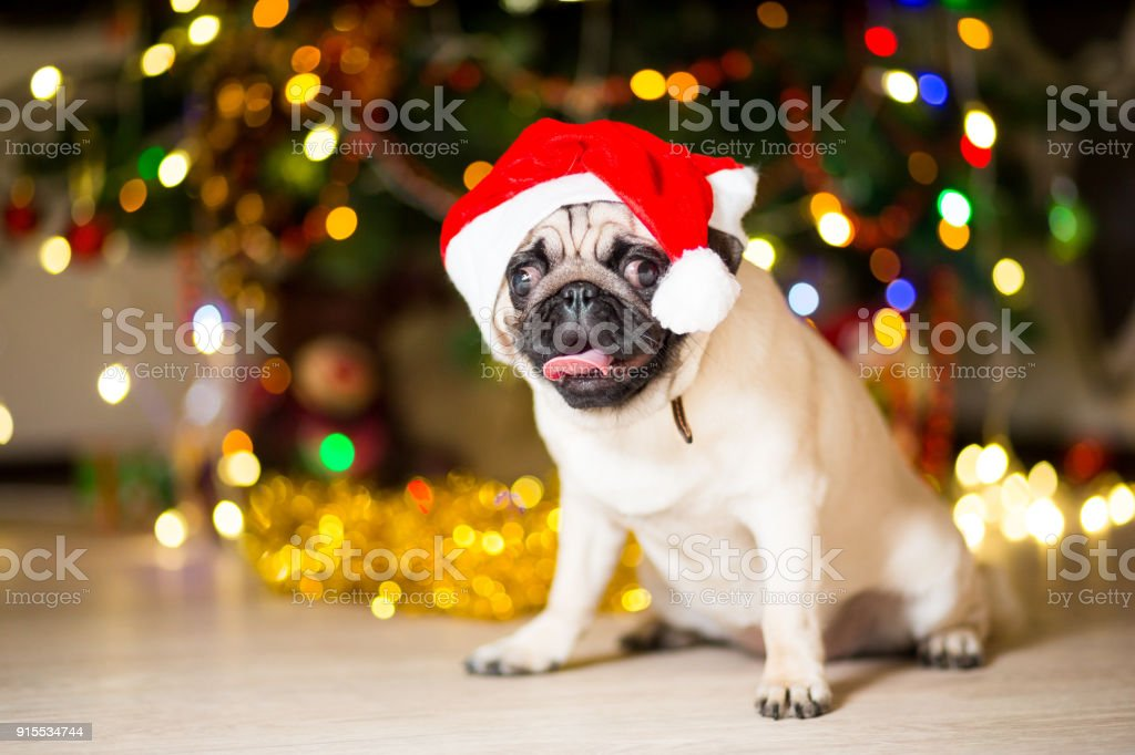 A Pug Dog Sitting On The Floor In A Red Cap Near A Christmas Tree