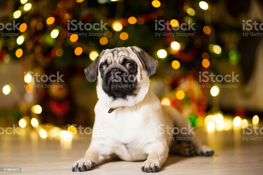 A pug dog sitting on the floor near a Christmas tree with garlands stock photo