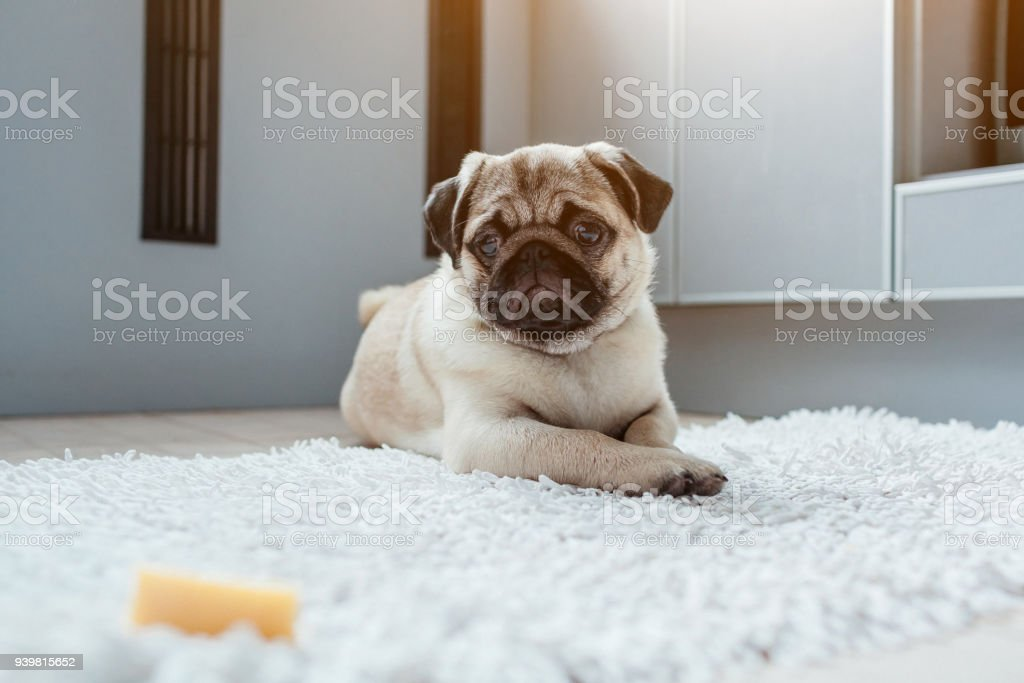 Pug dog waiting for a permission to eat cheese on the kitchen....
