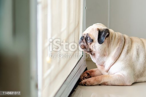 Pug dog waiting for owner at the door