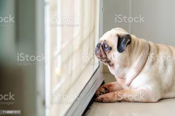 Pug dog waiting for owner at door picture id1145631312?b=1&k=6&m=1145631312&s=612x612&h=iyibvkunloly3 xhctnyihiz1zcdhknuetmgtfd  iu=