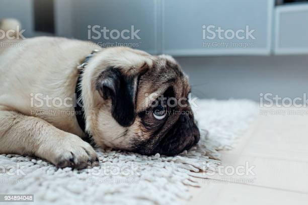 Pug dog was punished and left alone on the kitchen picture id934894048?b=1&k=6&m=934894048&s=612x612&h=vsvcunzor9ze2ymblzcuwscero1v 4ku6p89iz busm=