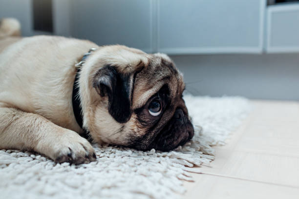 Pug dog was punished and left alone on the kitchen picture id934894048?b=1&k=6&m=934894048&s=612x612&w=0&h=cayi9si jv tuhfrtxsvzrkry8ah9qpmb7h4keehyei=