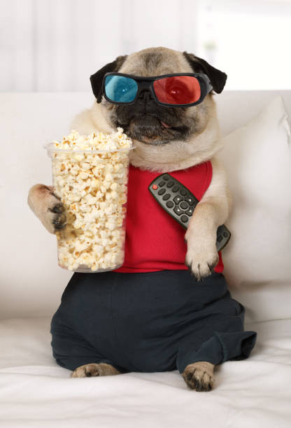 Pug dog watch TV lounging on the sofa Pug dog in the three-dimensional glasses with a remote control in his paws and popcorn watch TV lounging on the sofa 3 d glasses stock pictures, royalty-free photos & images